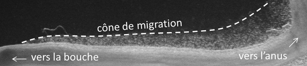cone_migration